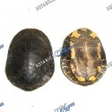 Turtle shell (1 piece)