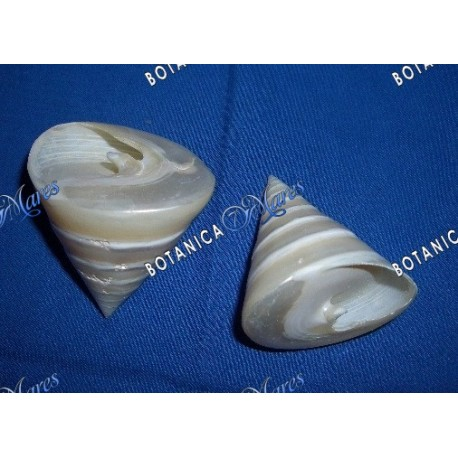 Small Mother of Pearl Seashell