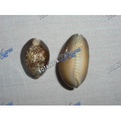 Brown Cowry Shell